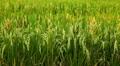 Beautiful Terraced Rice Fields, Paddy Field, Rice Farm, Bali, Indonesia Footage