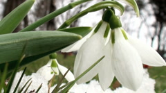 Snowdrops - stock footage