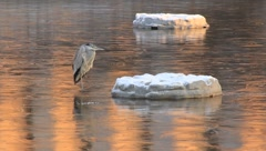 Heron rests on ice next to patch of snow (HD) k Stock Footage