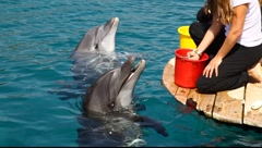 Feeding at the Dolphin Reef's, Red Sea, Eilat Stock Footage