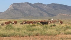 Stock Video Footage of Cattle Moving Across Plain (HD) co