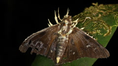 Cordyceps fungus infecting a moth Stock Footage