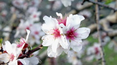 Blossoming almond flowers in springtime in Portugal Stock Footage