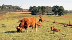Cows and young calves in the meadows in Portugal Stock Footage