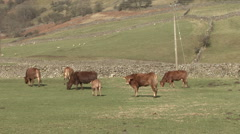 Cattle graze near Reeth in Swaledale. Stock Footage