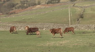 Stock Video Footage of Cattle graze near Reeth in Swaledale.