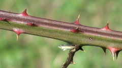 Sharp Thorns on a Bramble Bush Stock Footage