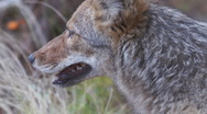Stock Video Footage of Coyote Female