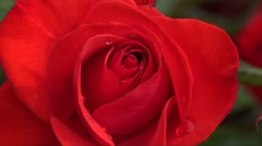 Red rose Stock Footage