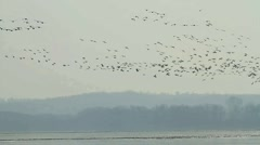 A flock of Geese - stock footage