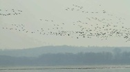 Stock Video Footage of A flock of Geese