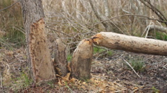 Beaver Damage - stock footage
