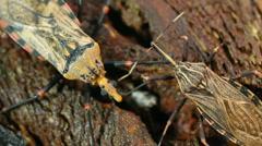 Assassin bug Triatoma sp. Stock Footage