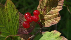 High Bush Cranberries - stock footage