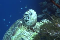 Sea Turtle roaming the coral triangle Stock Footage