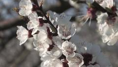 Bloom Nature Apricot Stock Footage