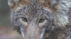 Coyote Male Stock Footage
