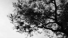 Tree Branches in B&W Stock Footage