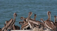 Birds flock of pelicans clean their feathers then another one flys into the f Stock Footage