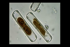 Diatoms - stock footage