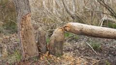 Beaver Damage Trees Stock Footage