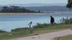Australian Pelican Stock Footage