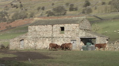 Cattle in front of field barn, Reeth, Swaledale. Stock Footage