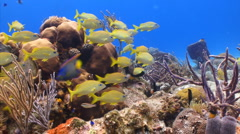 School of fish: grunt fish over coral reef Stock Footage