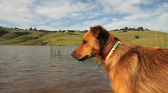 Dog Standing in a Lake GFHD  Stock Footage