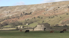 Cattle graze in a Swaledale field near Reeth. Stock Footage