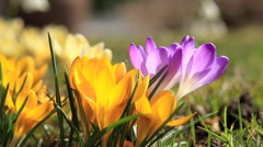 Crocus blooming in spring - stock footage