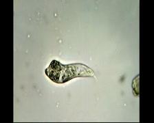 Crawling Euglenoid flagellate Stock Footage