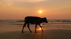 Cows on sunset beach Stock Footage