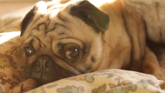 Pug Dogs Relaxing Stock Footage