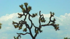 Twisted Joshua Tree Branches Against The Sky - stock footage