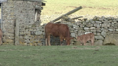 Cow and calf by a dry stone wall, Reeth, Swaledale. Stock Footage
