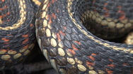 Garter snake coils and scales (extreme closeup) Stock Footage