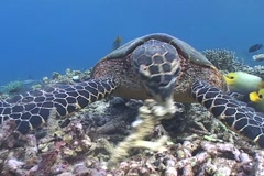 Sea Turtle roaming the coral triangle - stock footage