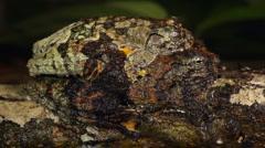 Neotropical marbled treefrog (Dendropsophus marmoratus) Stock Footage