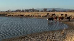 Stock Video Footage of Cow Herd Rippling Water