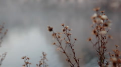 Dead plant in morning mist close-up Stock Footage