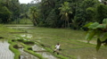 Large terraced rice field and palm trees in Bali Island, Indonesia Archipelago Footage