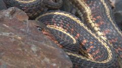 Garter snake coils and strikes Stock Footage