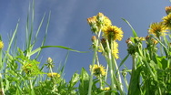 Dandelions close-up Stock Footage