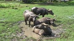 Water buffalos in watering hole Stock Footage