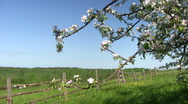 Apple blossom time Stock Footage
