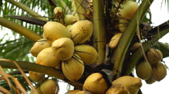 Coconut Tree in the middle of a rice field in Bali Island, Indonesia Stock Footage