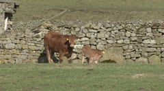 Cow and calf by a dry stone wall, Reeth, Swaledale. - stock footage