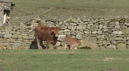Stock Video Footage of Cow and calf by a dry stone wall, Reeth, Swaledale.