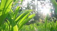 Stock Video Footage of Lilly of the valley shot close up